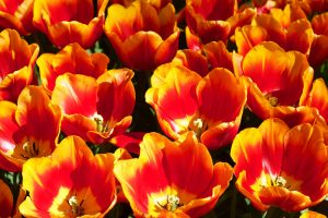 Orange Flowers Sun Keukenhof Holland